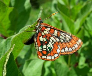 Gillete's Checkerspot (Euphydryas gillettii). Photo taken by Carol Boggs, co-advisor of Rajiv and one of the senior authors of the study.