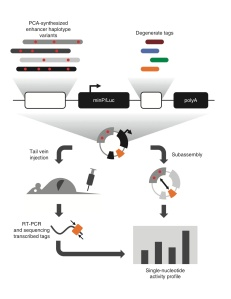 Mutagenesis technique used by Patwardhan et al. (2012) to generate a comprehensive collection of cis-regulatory element mutants and test their phenotypes in vivo (figures from Patwardhan et al., 2012)