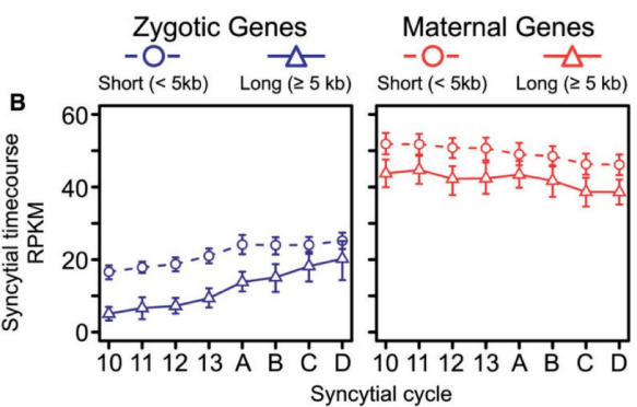 Modified from Artieri and Fraser 2014 Figure 2B . Long zygotic genes are underexpressed early in the syncytial division phase relative to short genes, but catch up in expression by the end of the syncytial phase while maternally derived transcripts show no such changes.