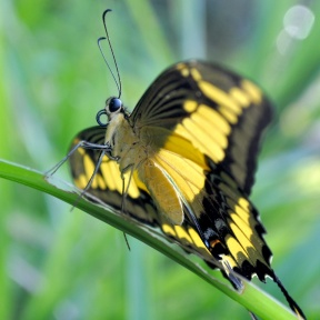 One of the Peruvian butterflies Alison studied in her initial pilot experiment on nitrogen-seeking behavior.