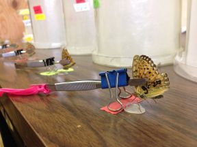 Alison's butterflies eating their breakfast in the lab at Rocky Mountain Biological Station.
